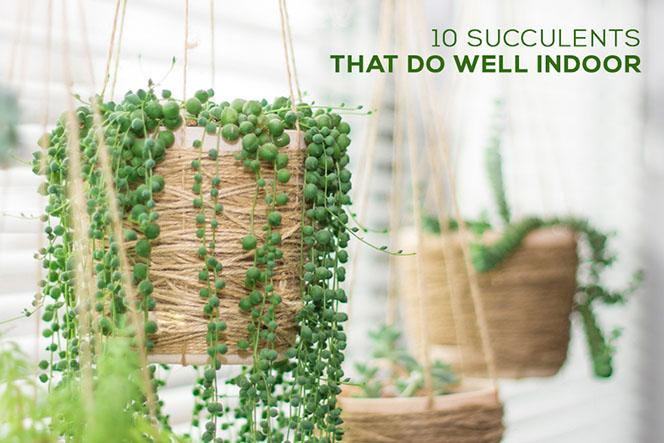 10 Types of Succulent That Do Well Indoor