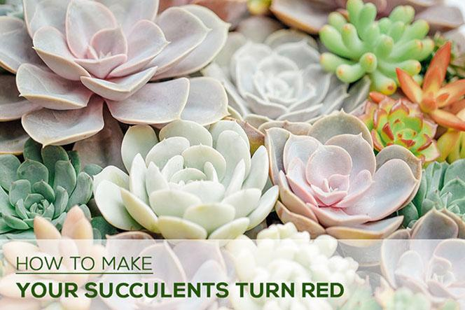 How to Make My Succulents Turn Red?