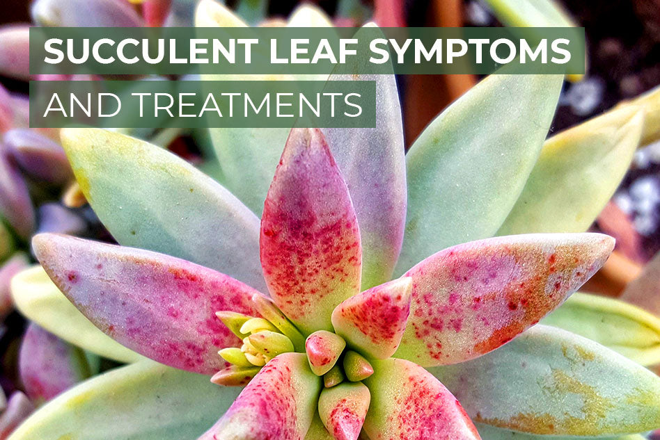 Succulent leaf symptoms and treatments