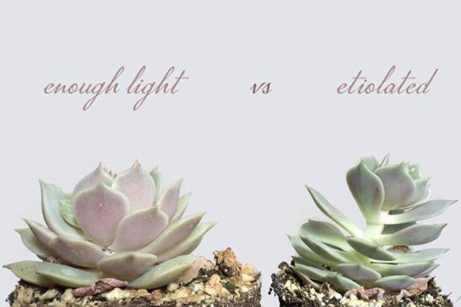 How succulents react to weather and sun