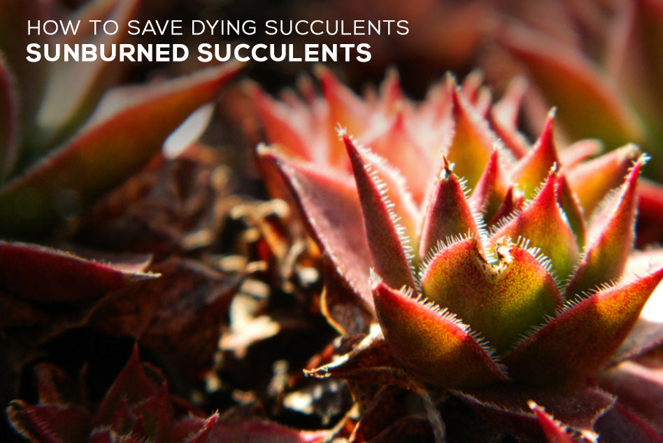 How To Save Dying Succulents Sunburned Succulents Succulents Box