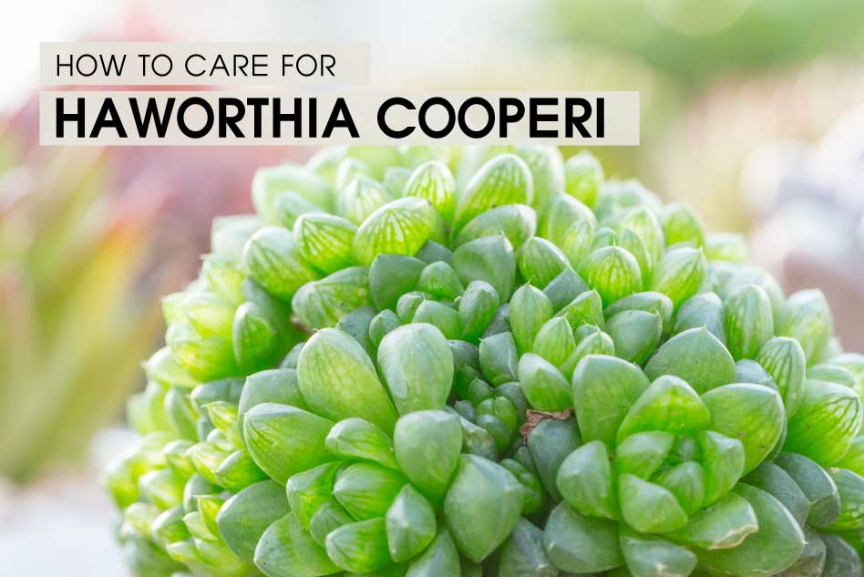 How to care for Haworthia Cooperi