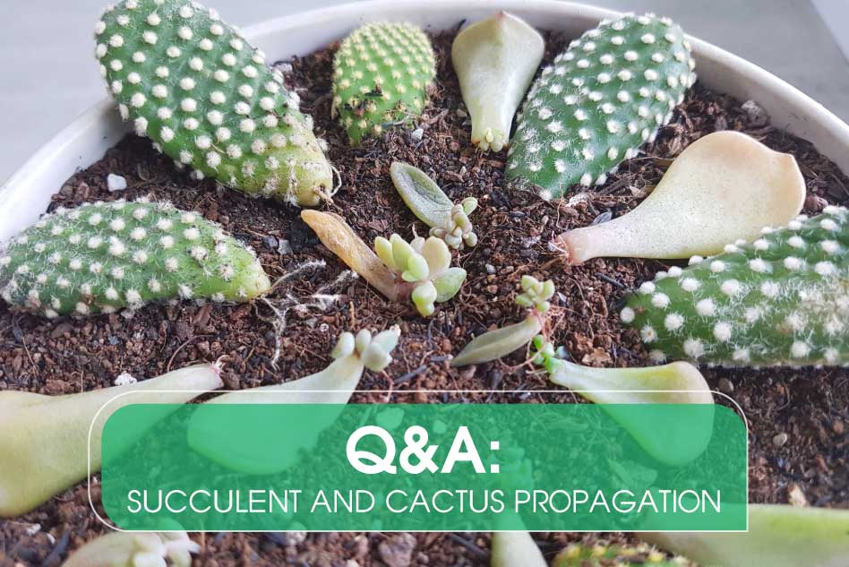 Q&A: Succulent and Cactus Propagation