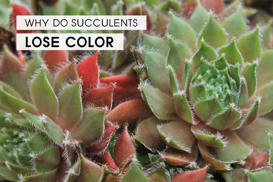 Why do succulents lose color