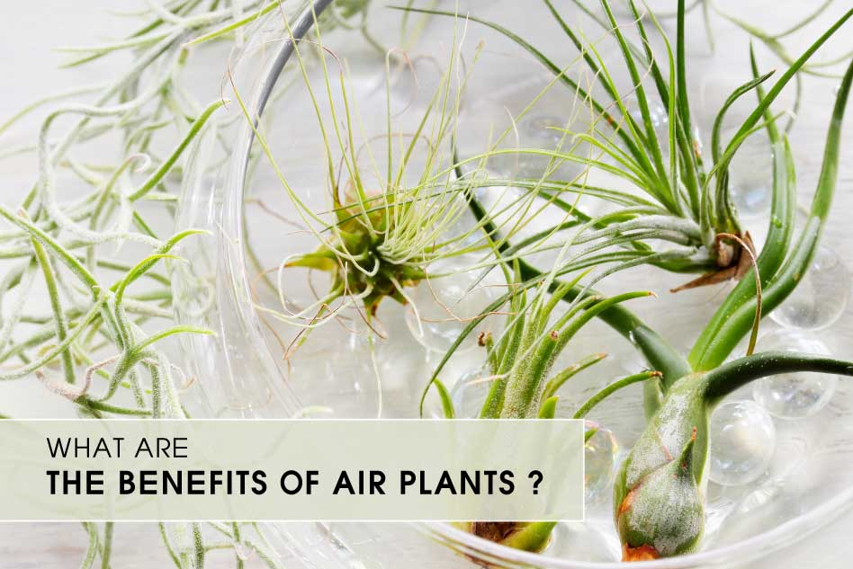 What are the benefits of Air Plants
