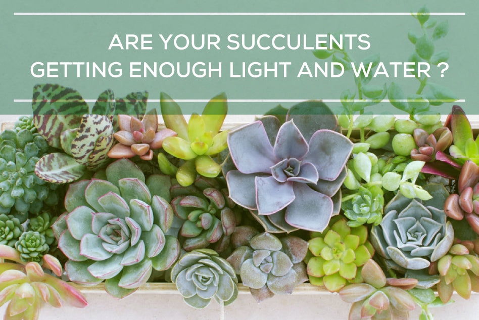 Are your succulents getting the right amount of sun and water?