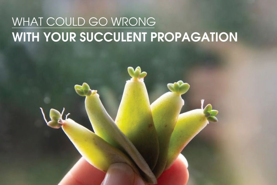 What could go wrong with your succulent propagation