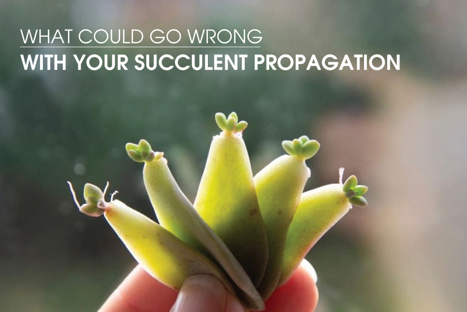 What Could Go Wrong With Your Succulent Propagation Succulents Box