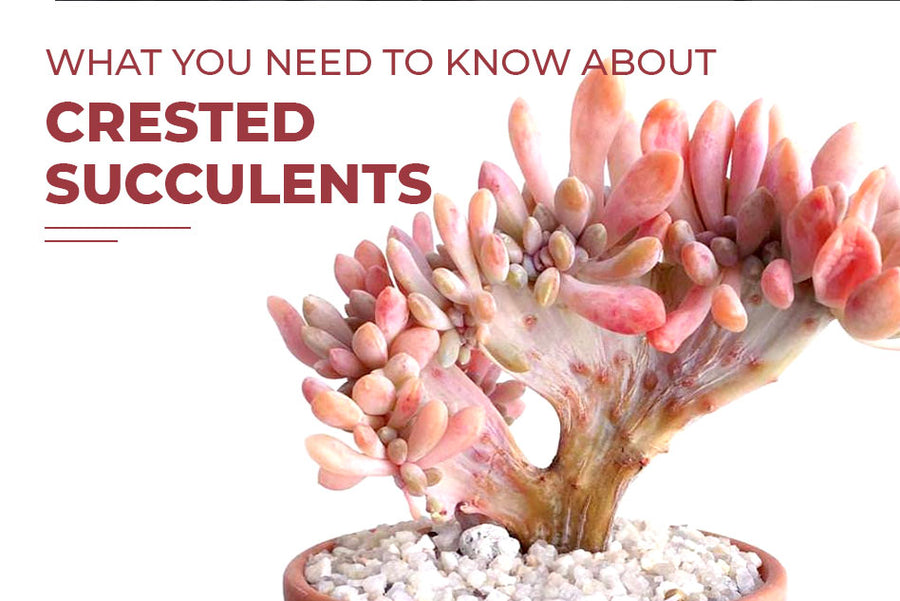 What you need to know about crested succulents