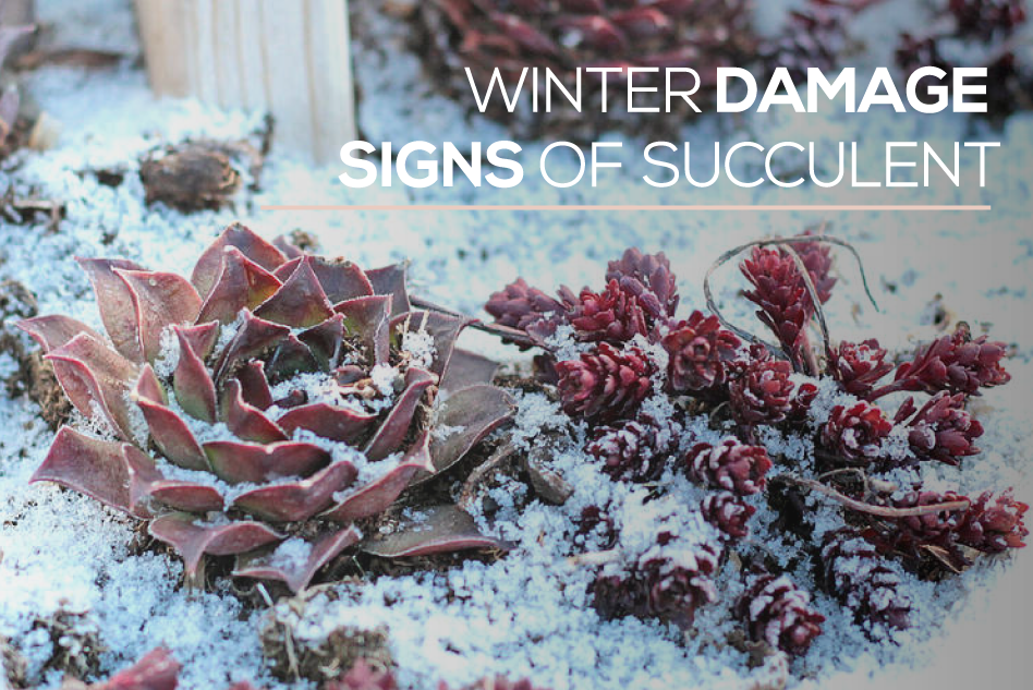 Winter damage signs of succulent, Succulent's popular problem