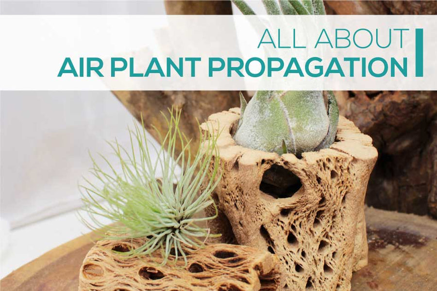 How to multiply your air plant collection fast and free