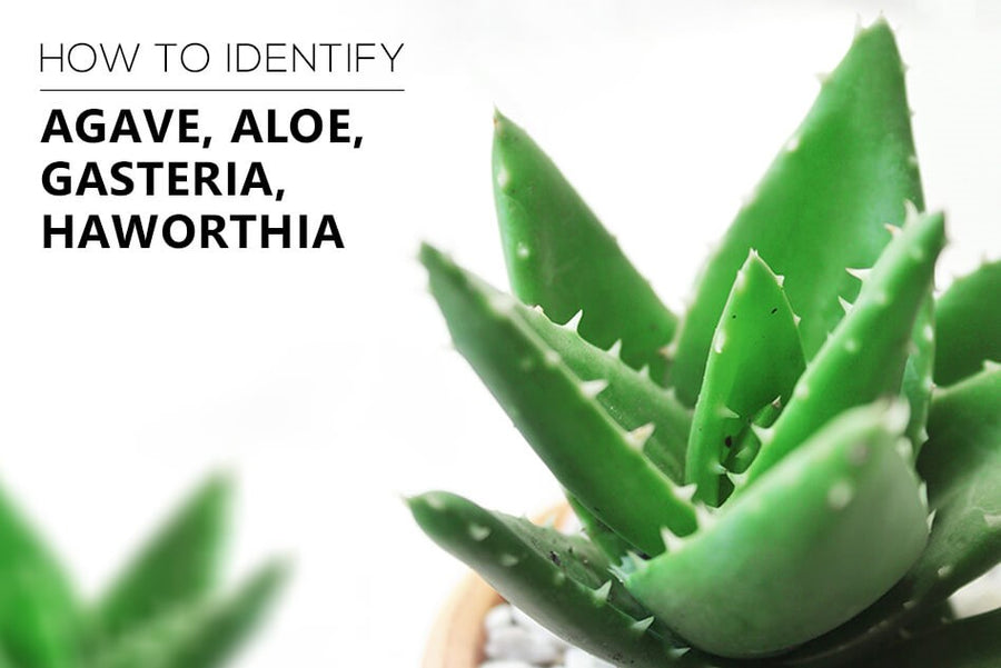 How to identify succulents: Agave, Aloe, Gasteria, Haworthia