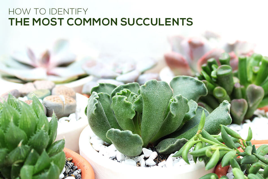How to identify the most common succulents