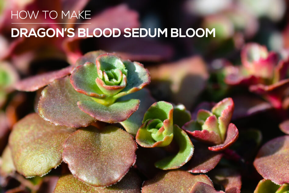 How to Make Dragon's Blood Sedum Bloom