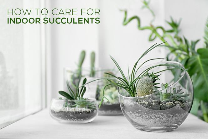 How To Care For Your Indoor Succulents Succulents Box