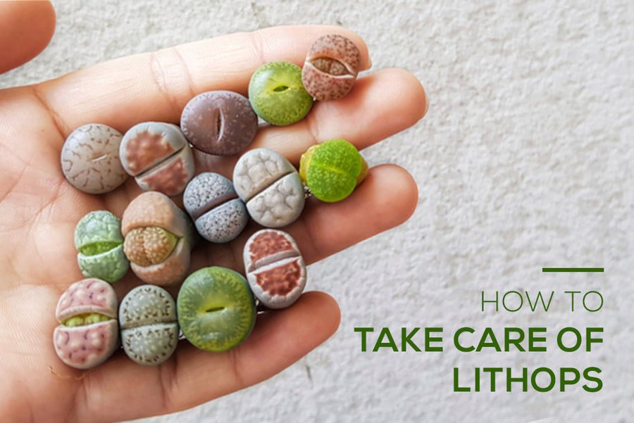 How to take care of Lithops Living Stone Succulent, Tips for growing Lithops plant, Lithops care guide