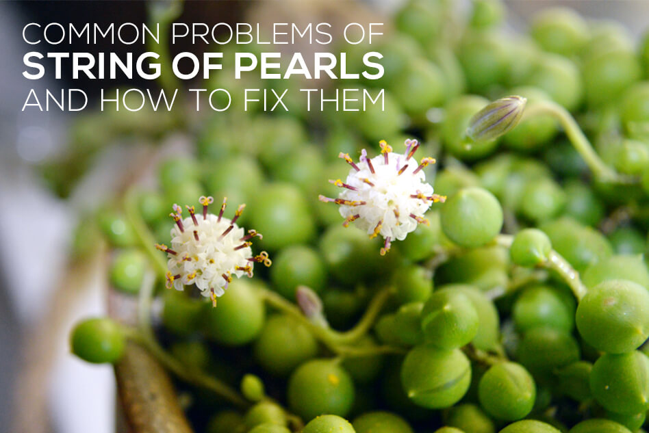 Common problems of String of Pearls and how to fix them