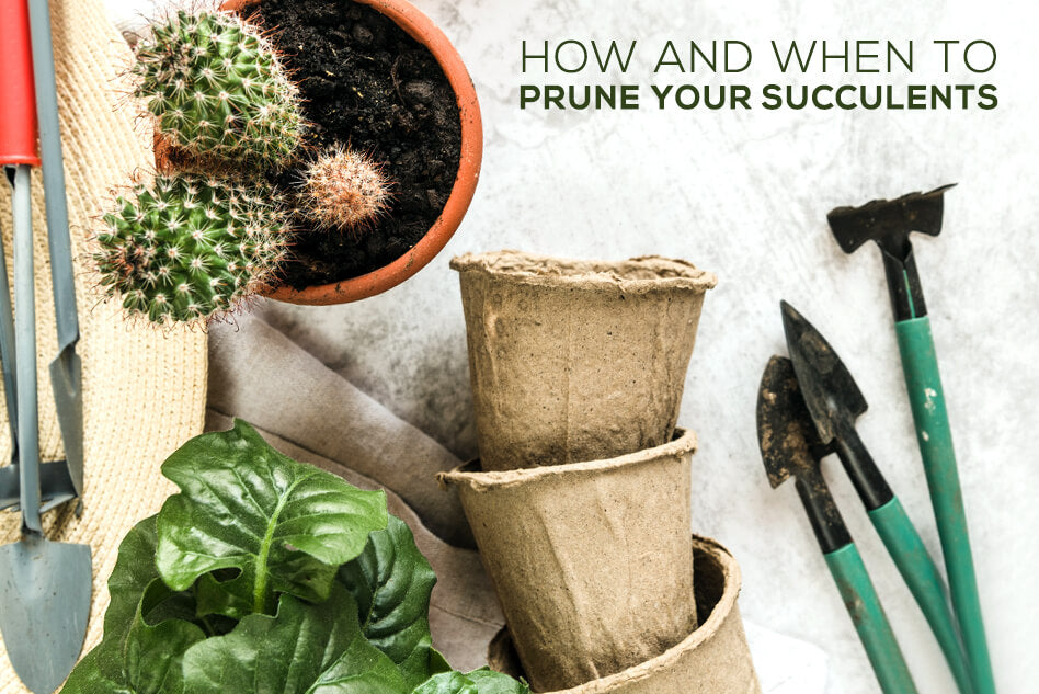 How and When to Prune Your Succulents