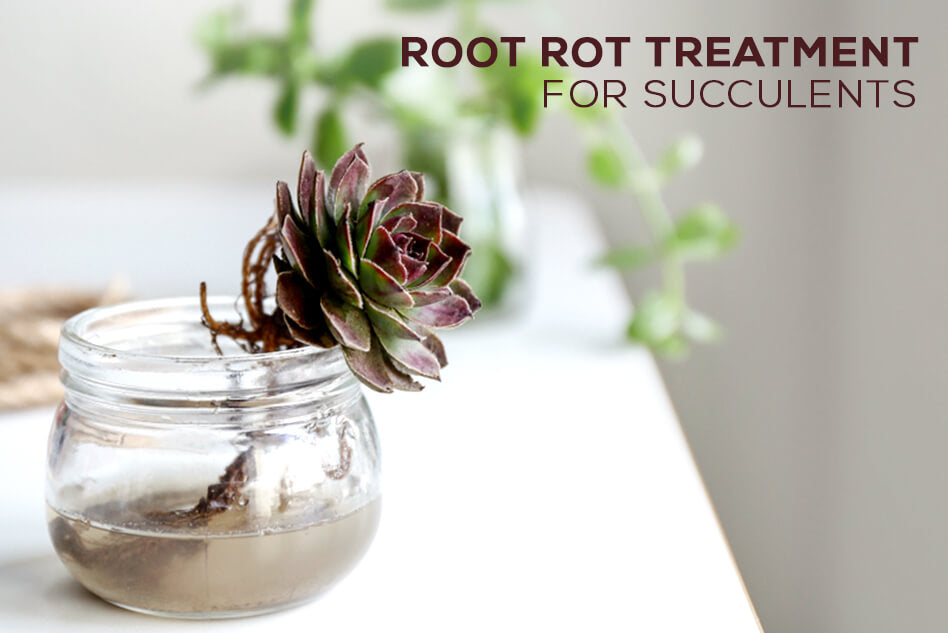 Root rot treatment for succulents