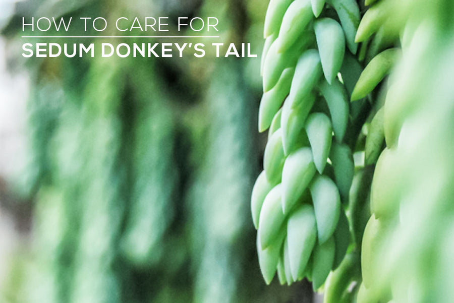How to care for Sedum Donkey's Tail