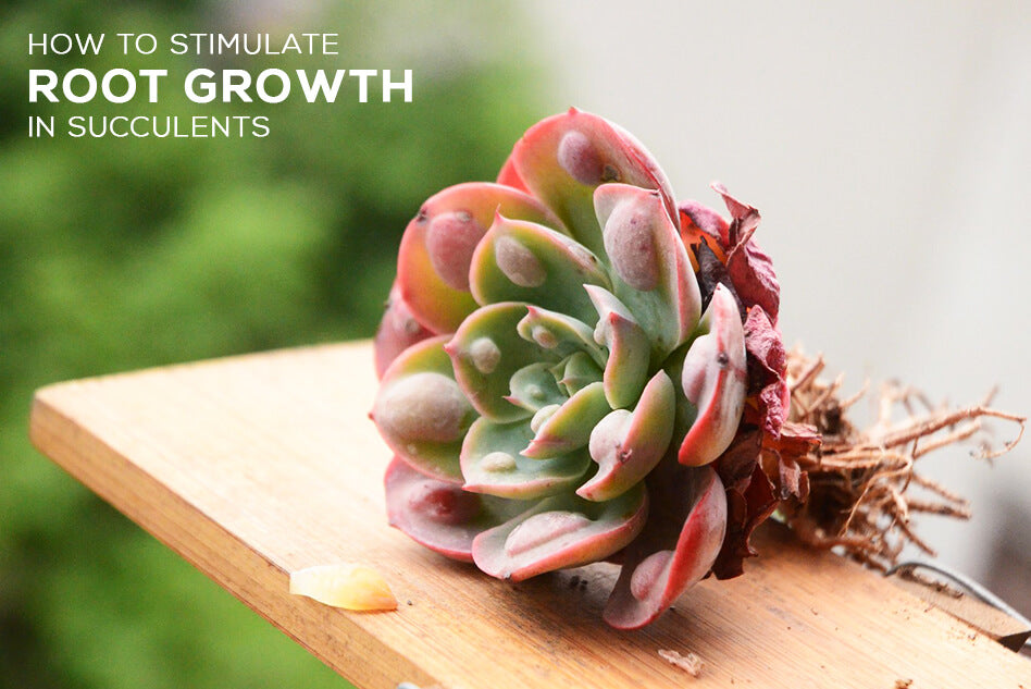 How to stimulate root growth in succulents