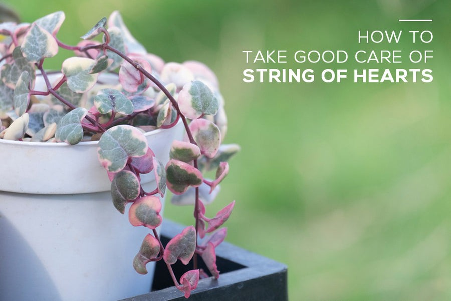 How to take good care of String of Hearts Plant, Tips for Growing Trailing String of Hearts Succulent, String of Hearts Care Guide