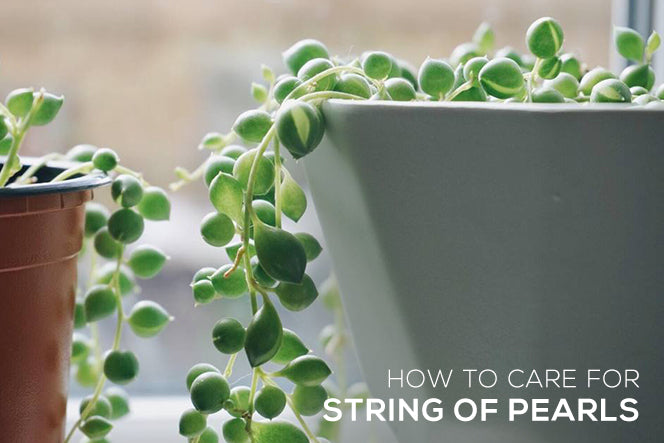 How to Care for String of Pearls Succulent, How to grow String of Pearls Live Plant, String of Pearls Succulent Care Guide, Tips for growing String of Pearls Plant