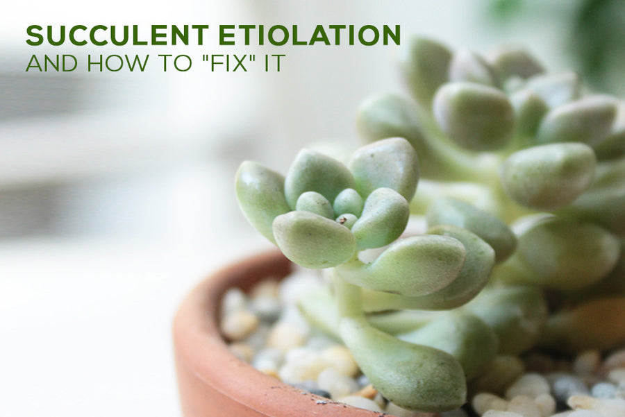 Succulent Etiolation and How to Fix it, Troubleshooting Common Problems for Succulents, Succulent Problems