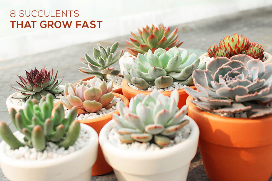 Succulents that grow fast, How to grow succulent plants, How to care for succulents
