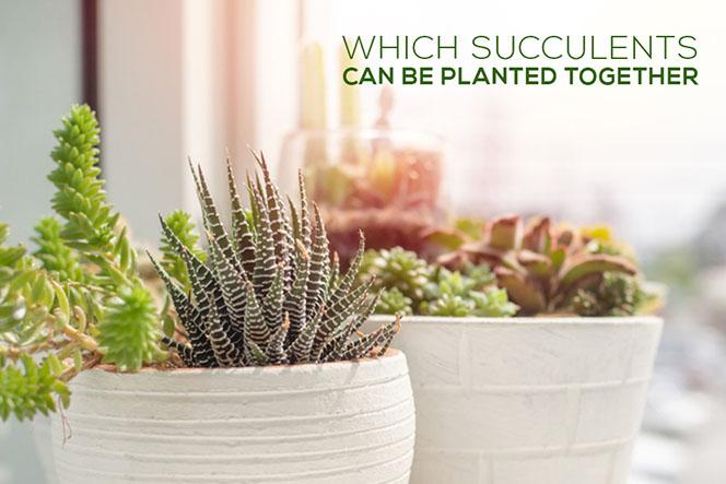 Which succulents can be planted together