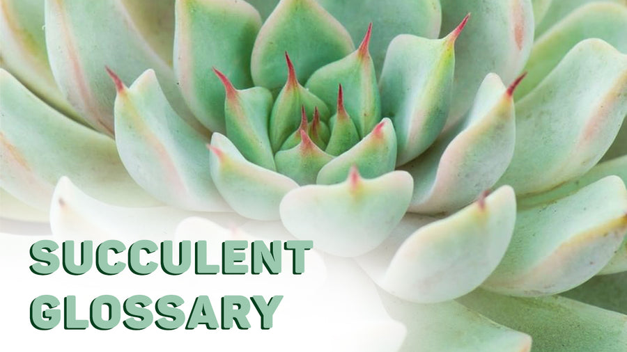 Succulent Glossary- Beginner Succulent Terms That You Should Know