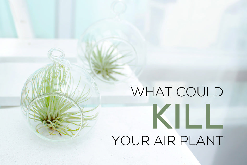 What could kill your air plant, How to care for Tillandsia air plants, How to grow air plants