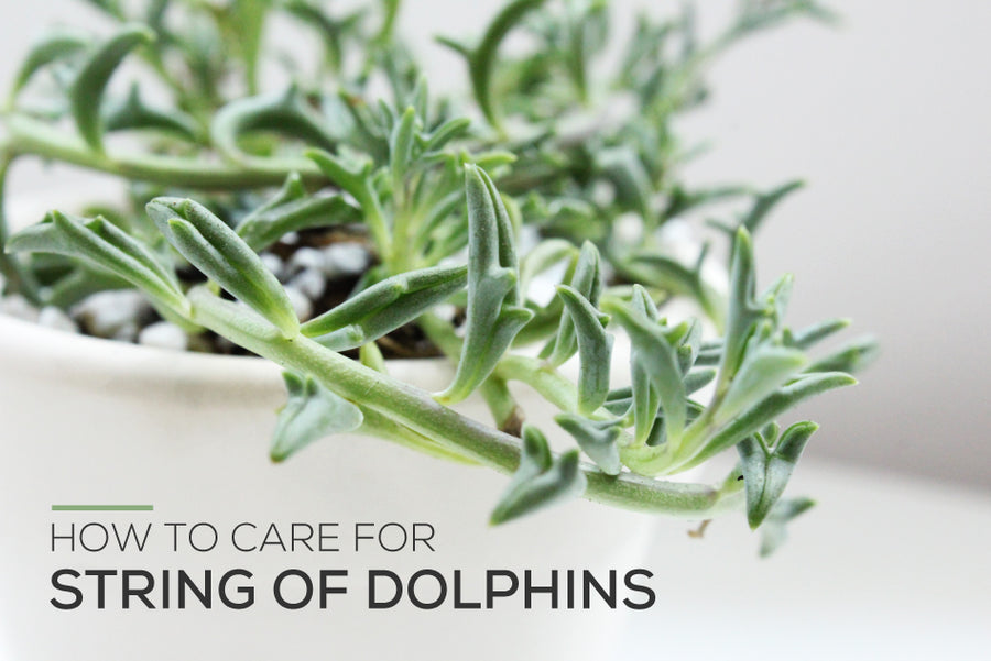 How to care for String of Dolphins, How to grow String of Dolphins, String of Dolphins Care Guide