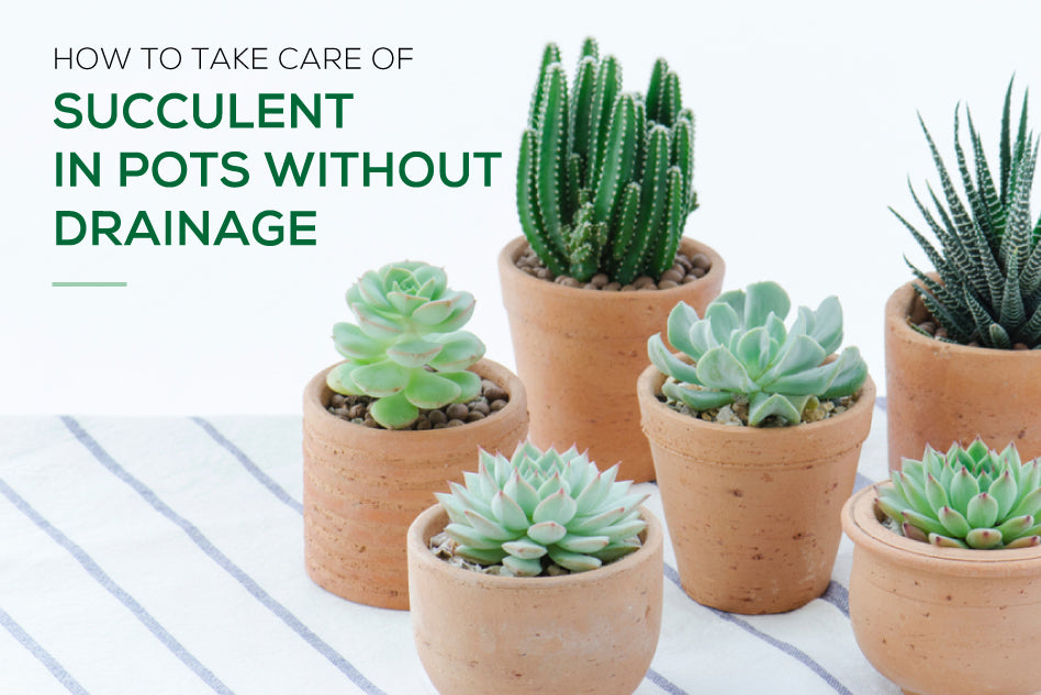 How to take care of succulent in pots without drainage hole