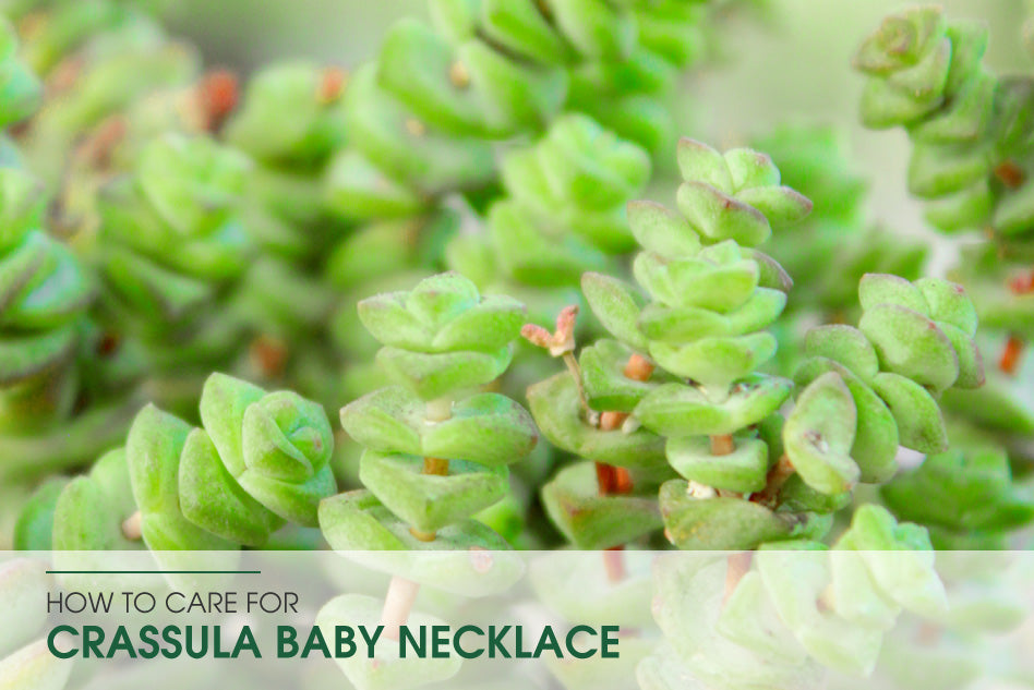 How to care for Crassula Baby Necklace