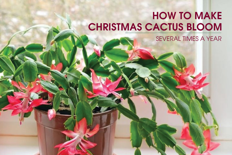 How to make Christmas Cactus bloom, How to care for Christmas Cactus Succulent