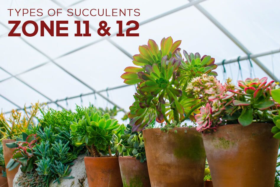 Types of Succulents for Zone 11 & 12
