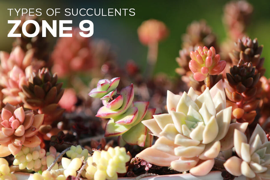 Types of Succulents Zone 9