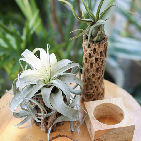 Types of Air Plants, Tillandsia Airplants for sale, How to care for Airplants
