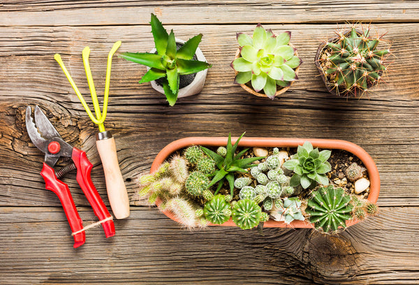How to prune the succulents