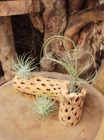Types of Tillandsia Air Plants