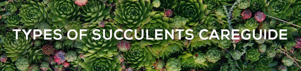 Types of Succulents Care Guide
