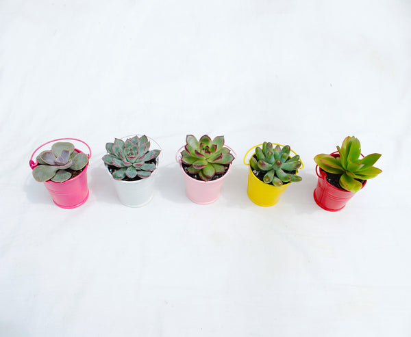 All you need to know about succulent hybrid