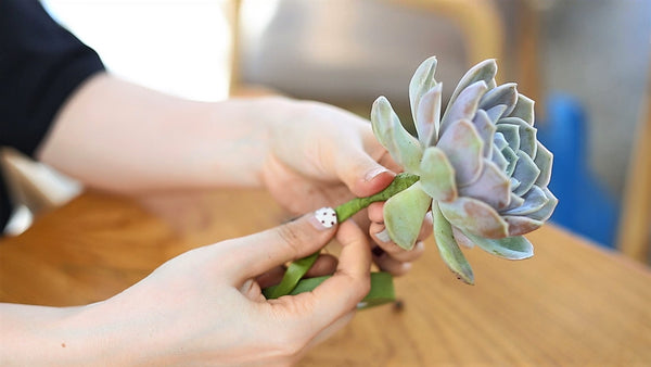 Types of Echeveria Succulents for sale, Collection of Gorgeous Echeveria Succulents
