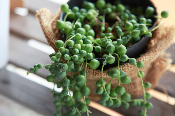how to make string of pearls fuller, string of pearls, string of pearls dying, string of pearls shriveling, string of pearls plant dying, why is my string of pearls dying, overwatered string of pearls, picture of overwatered string of pearls, string of pearls watering, string of pearls care