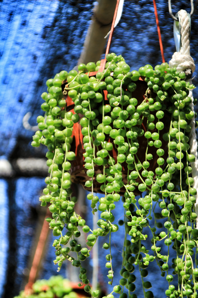 Trailing String of Pearls Plant