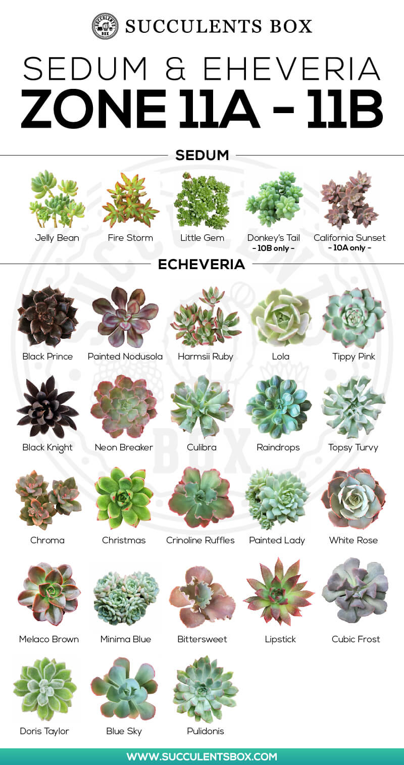 Succulents Plant for Zone 11