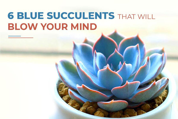 6 Blue Succulents That You Need In Your Garden