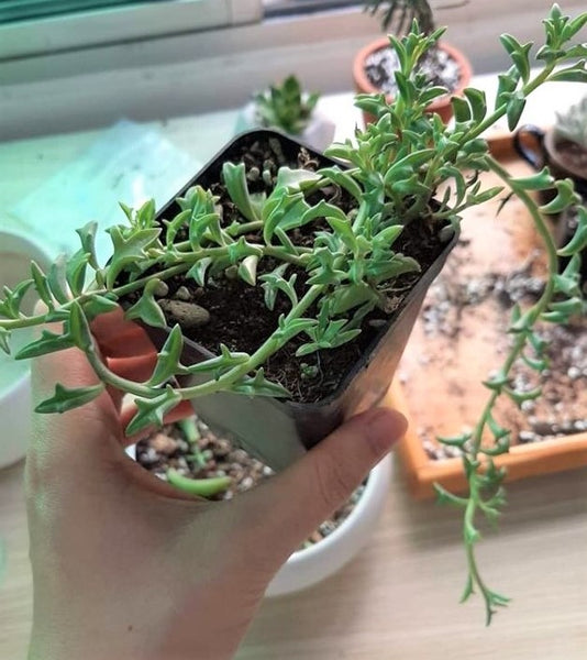 string of dolphins, string of dolphins plant, dolphin plant, dolphin succulent, string of dolphins care, how to propagate string of dolphins, string of dolphins succulent, dolphin plant care, string of dolphins propagation, propagate string of dolphins