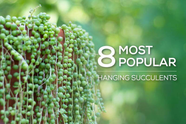 8 most popular hanging succulents